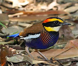 Banded Pitta Best Bird